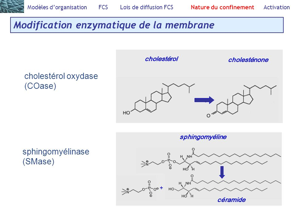Modification enzymatique de la membrane