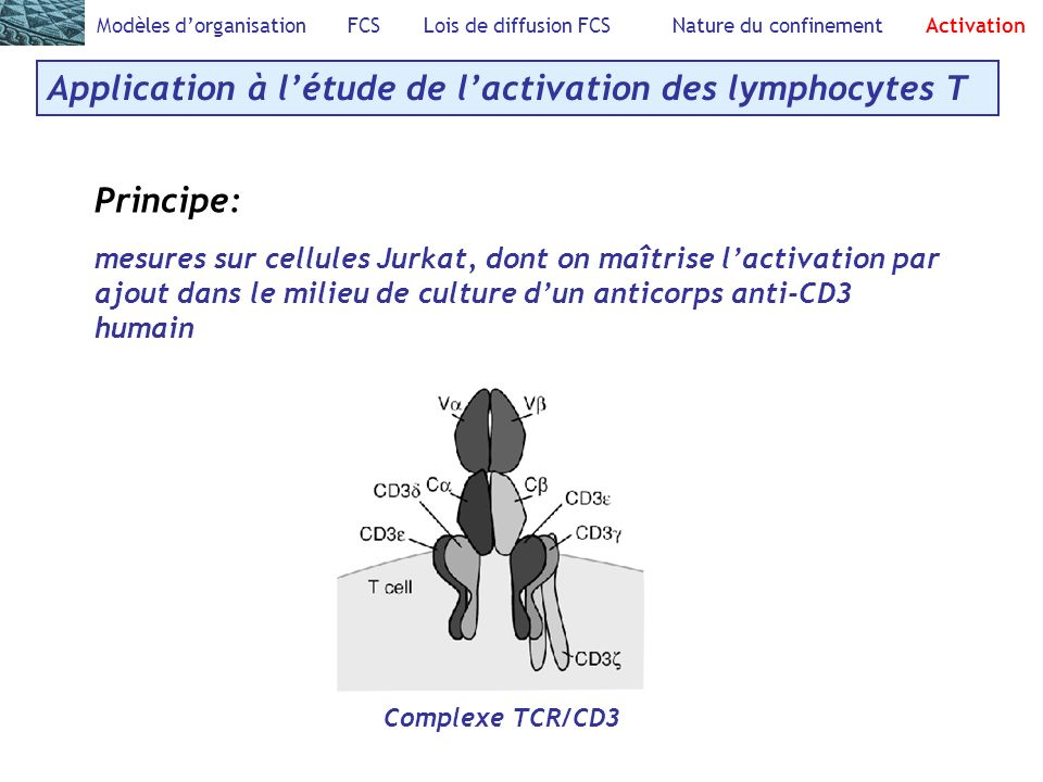 Application à l'étude de l'activation des lymphocytes T