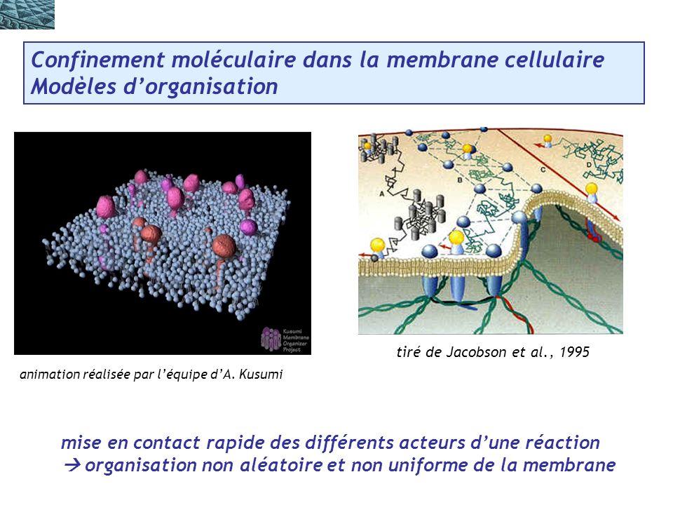 Confinement moléculaire dans la membrane cellulaire