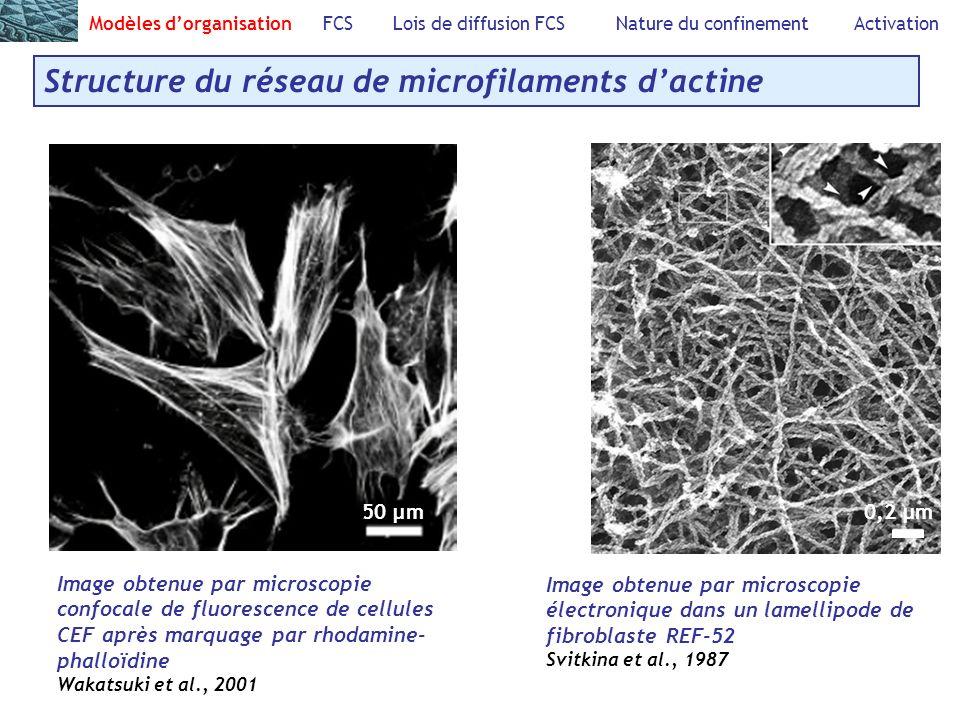 Structure du réseau de microfilaments d'actine