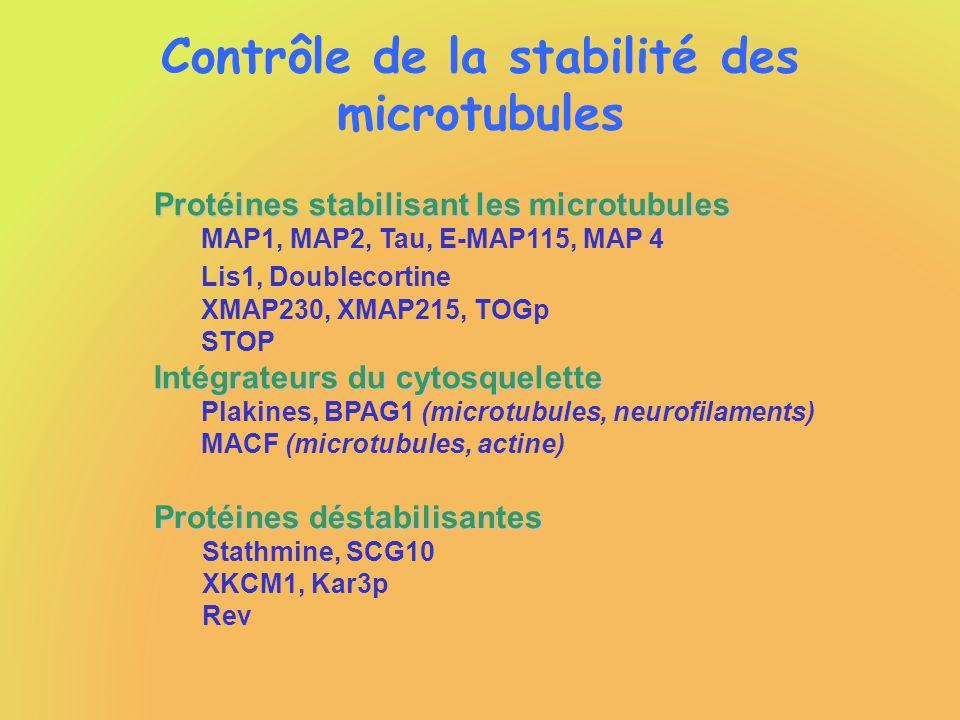 Contrôle de la stabilité des microtubules