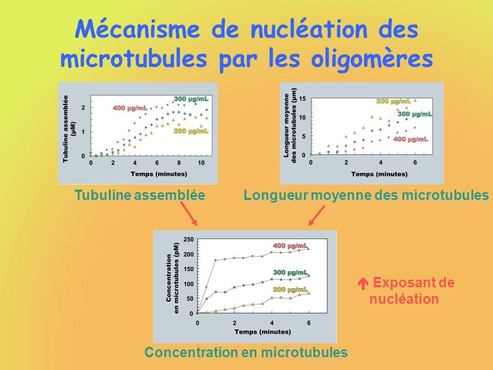 Mécanisme de nucléation des microtubules par les oligomères