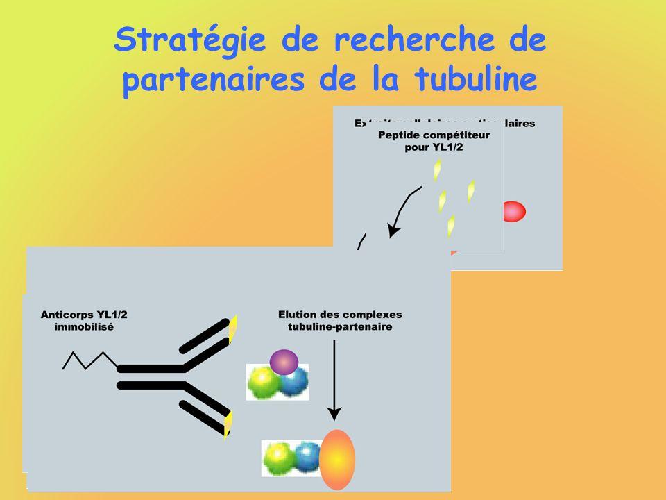 Stratégie de recherche de partenaires de la tubuline