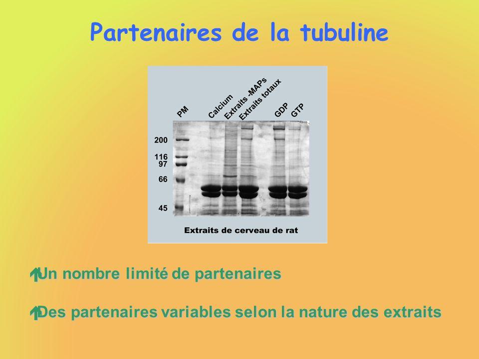 Partenaires de la tubuline