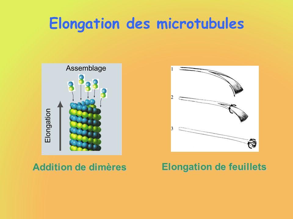 Elongation des microtubules