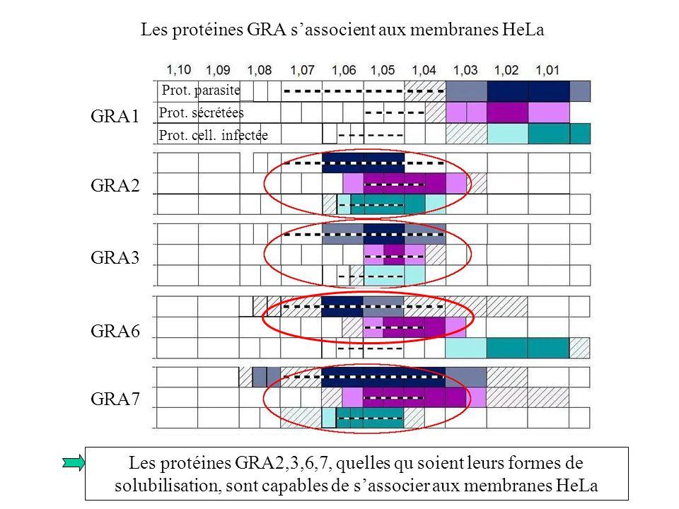 Les protéines GRA s'associent aux membranes HeLa