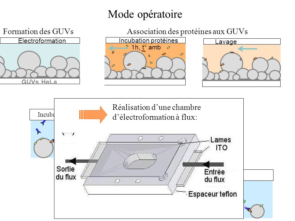 Mode opératoire Formation des GUVs Association des protéines aux GUVs