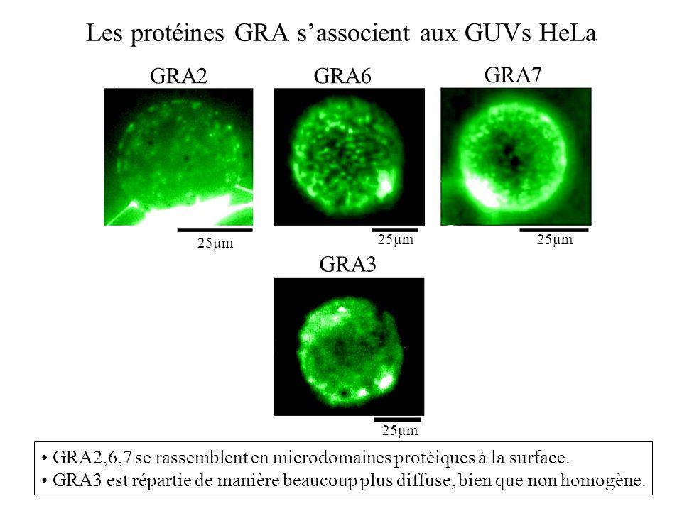 Les protéines GRA s'associent aux GUVs HeLa