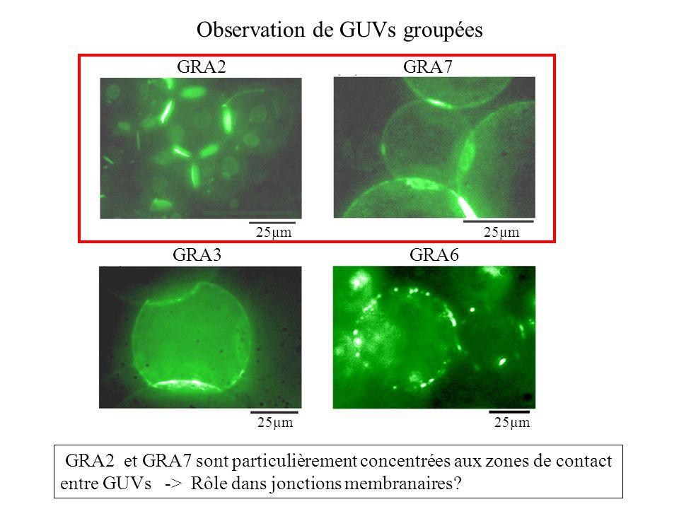 Observation de GUVs groupées
