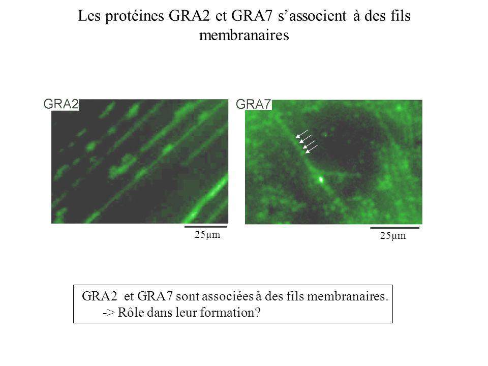 Les protéines GRA2 et GRA7 s'associent à des fils membranaires