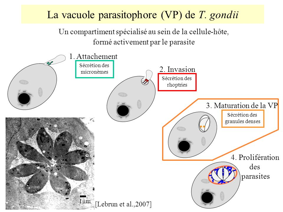 La vacuole parasitophore (VP) de T. gondii