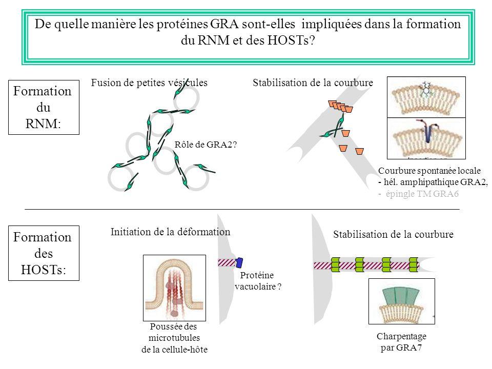 De quelle manière les protéines GRA sont-elles impliquées dans la formation du RNM et des HOSTs