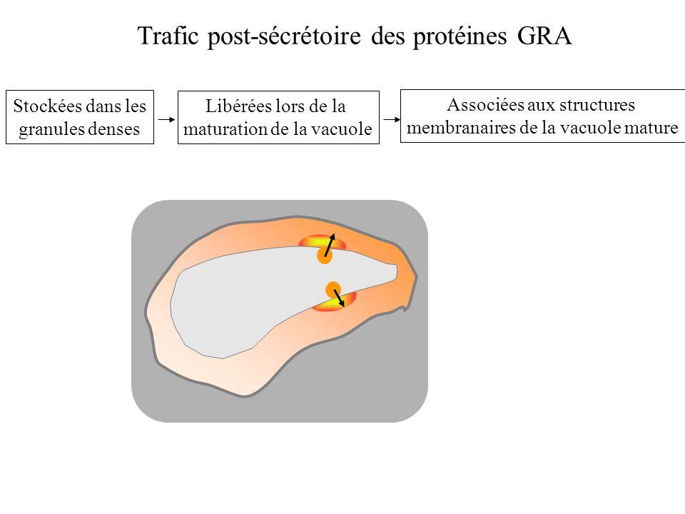 Trafic post-sécrétoire des protéines GRA