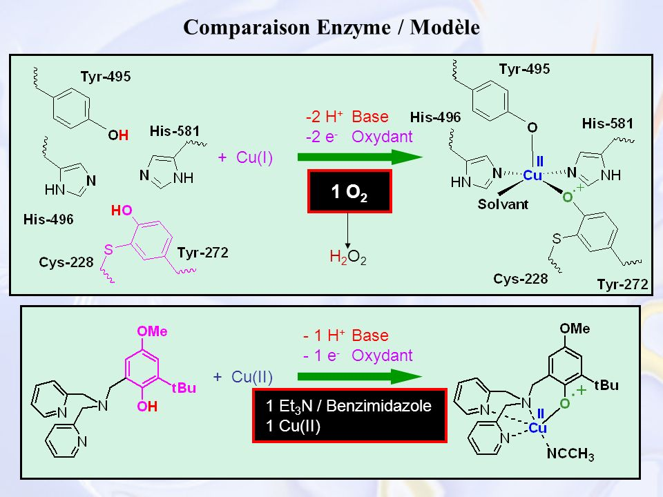 Comparaison Enzyme / Modèle