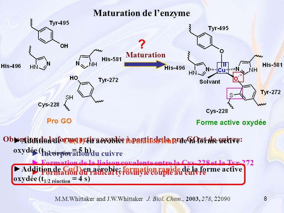 Maturation de l'enzyme