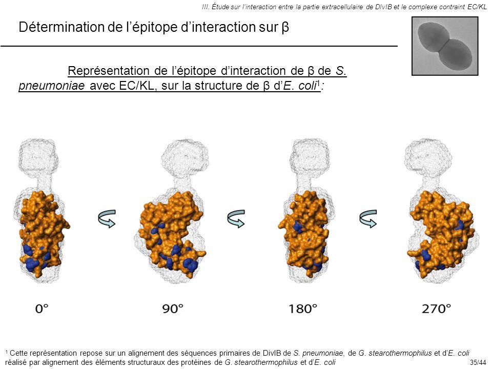 Détermination de l'épitope d'interaction sur β