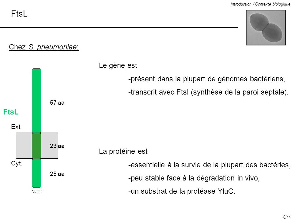 FtsL Chez S. pneumoniae: Le gène est