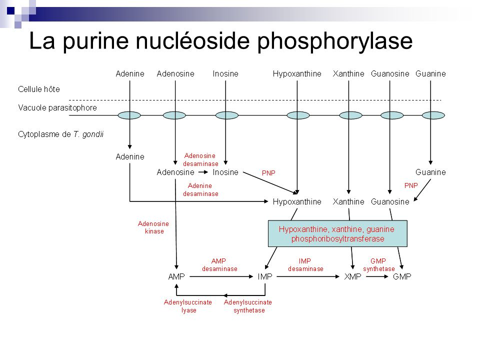 La purine nucléoside phosphorylase
