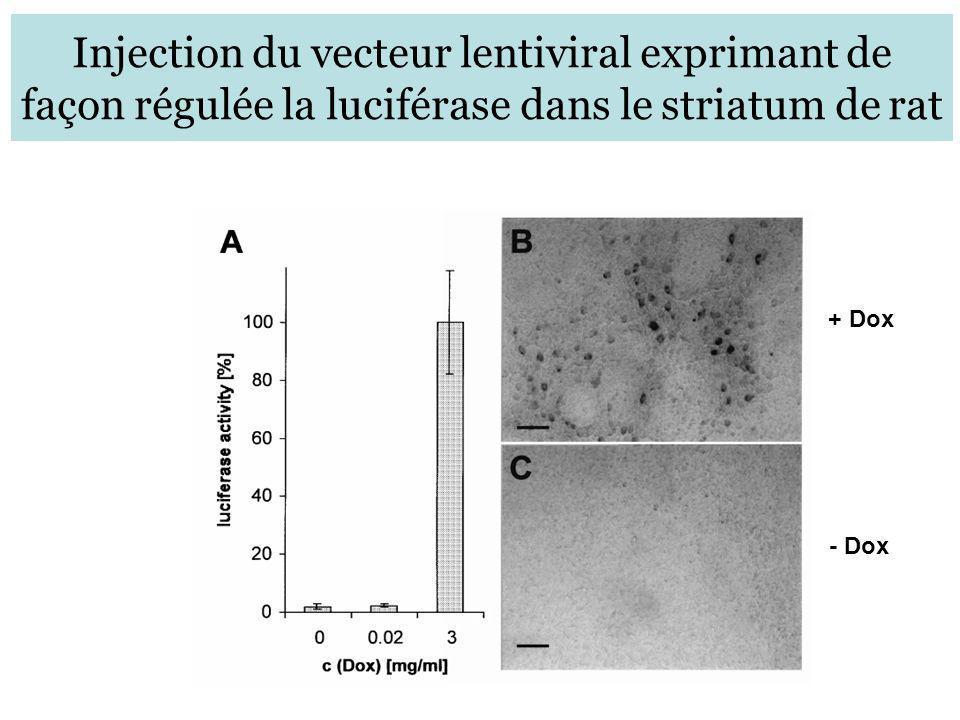 Injection du vecteur lentiviral exprimant de façon régulée la luciférase dans le striatum de rat