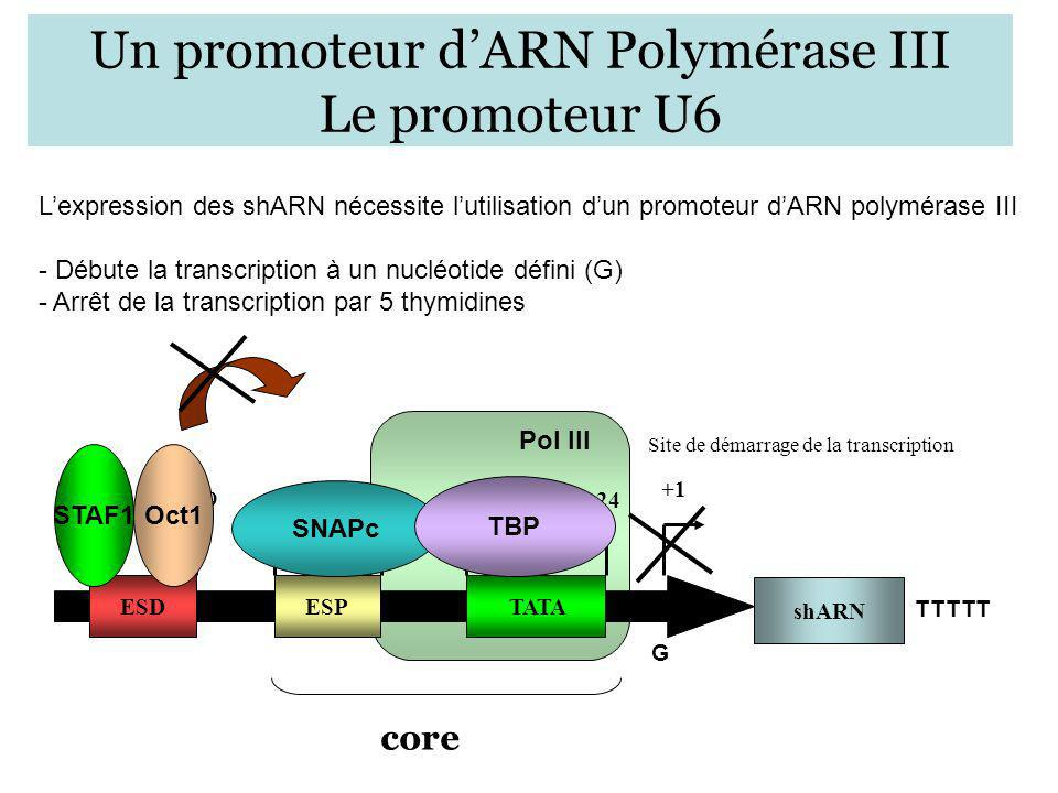 Un promoteur d'ARN Polymérase III Le promoteur U6