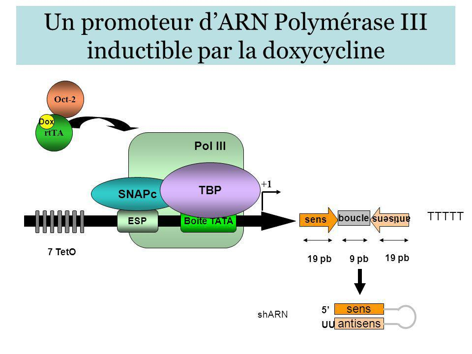 Un promoteur d'ARN Polymérase III inductible par la doxycycline