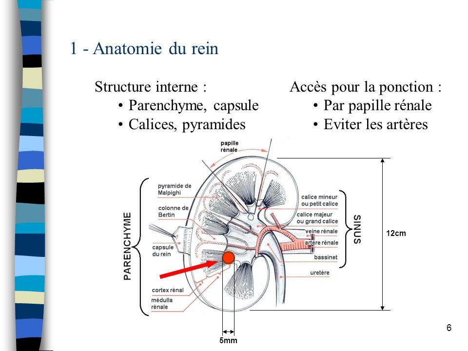 1 - Anatomie du rein Structure interne : Parenchyme, capsule