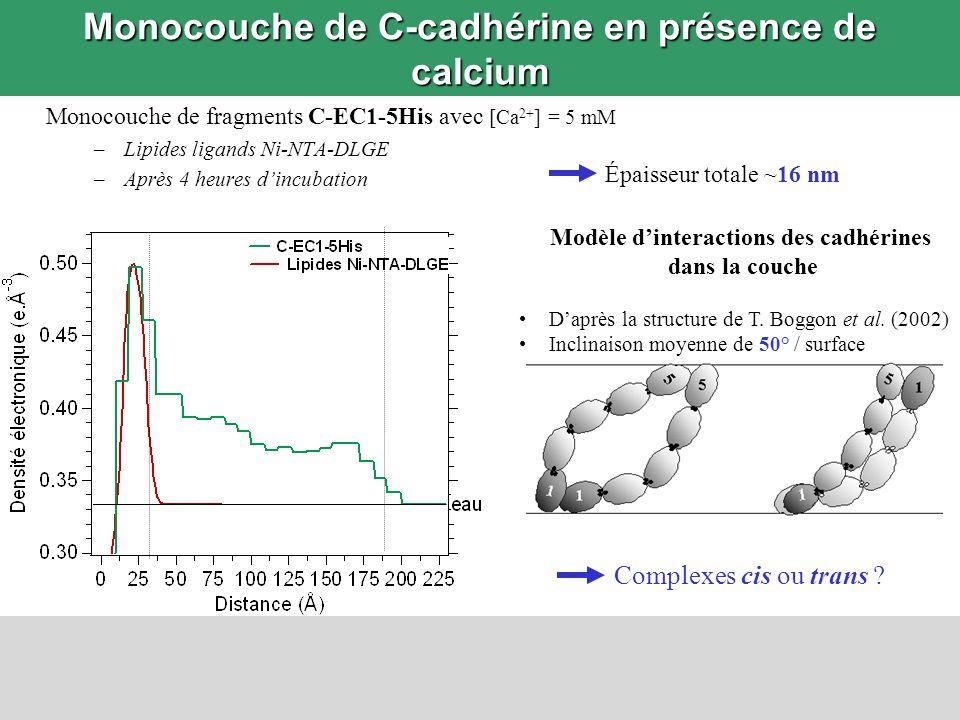 Monocouche de C-cadhérine en présence de calcium