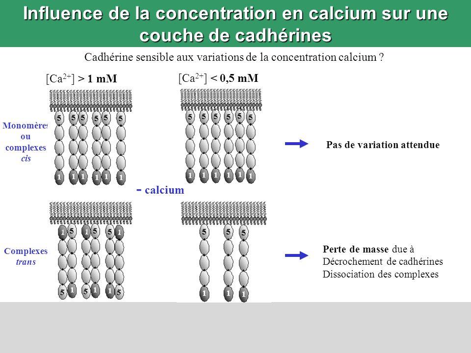 Influence de la concentration en calcium sur une couche de cadhérines