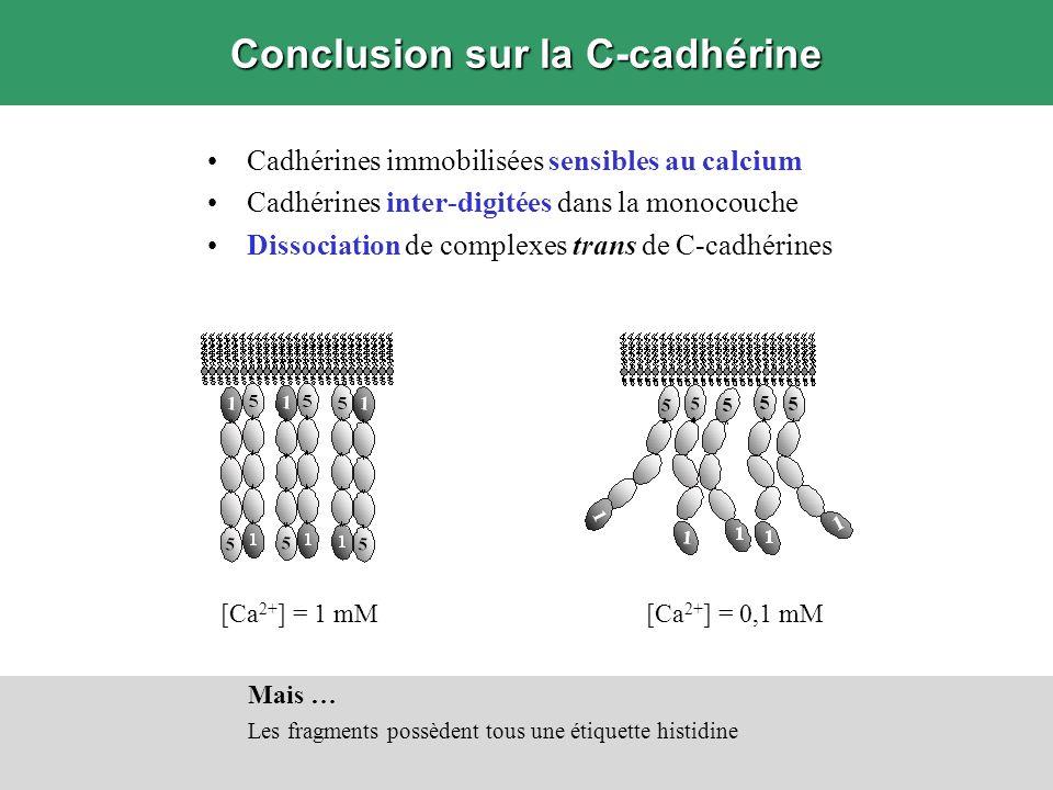 Conclusion sur la C-cadhérine