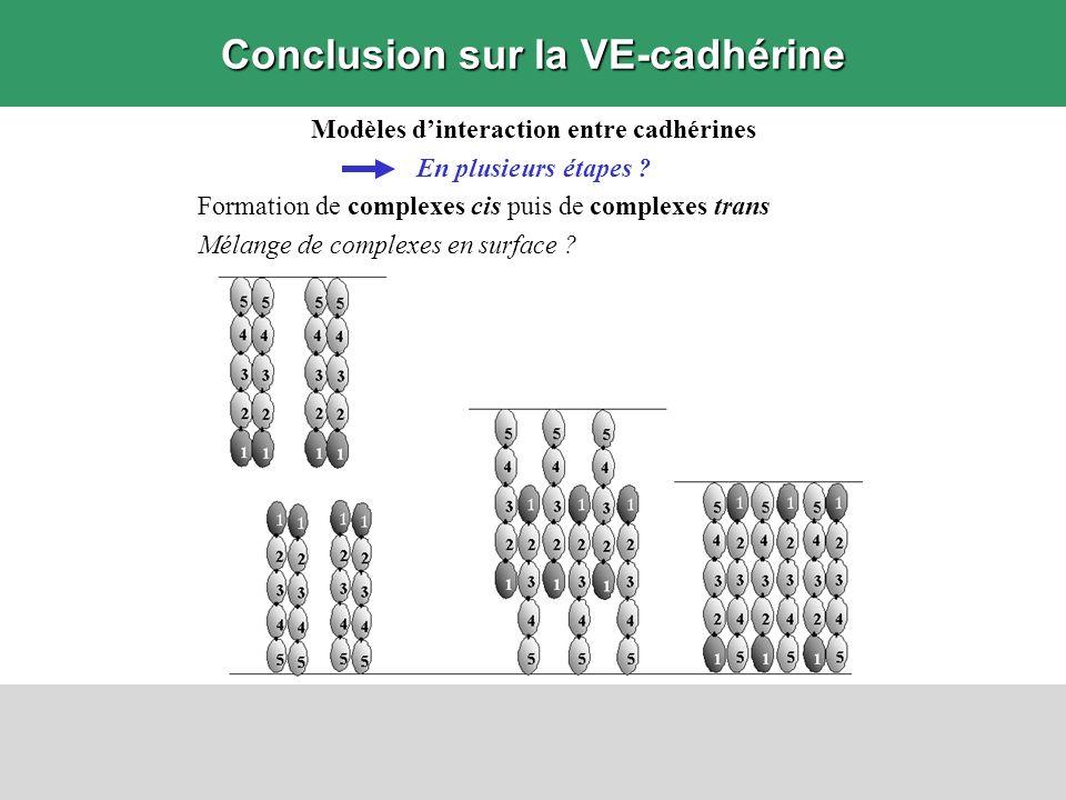 Conclusion sur la VE-cadhérine