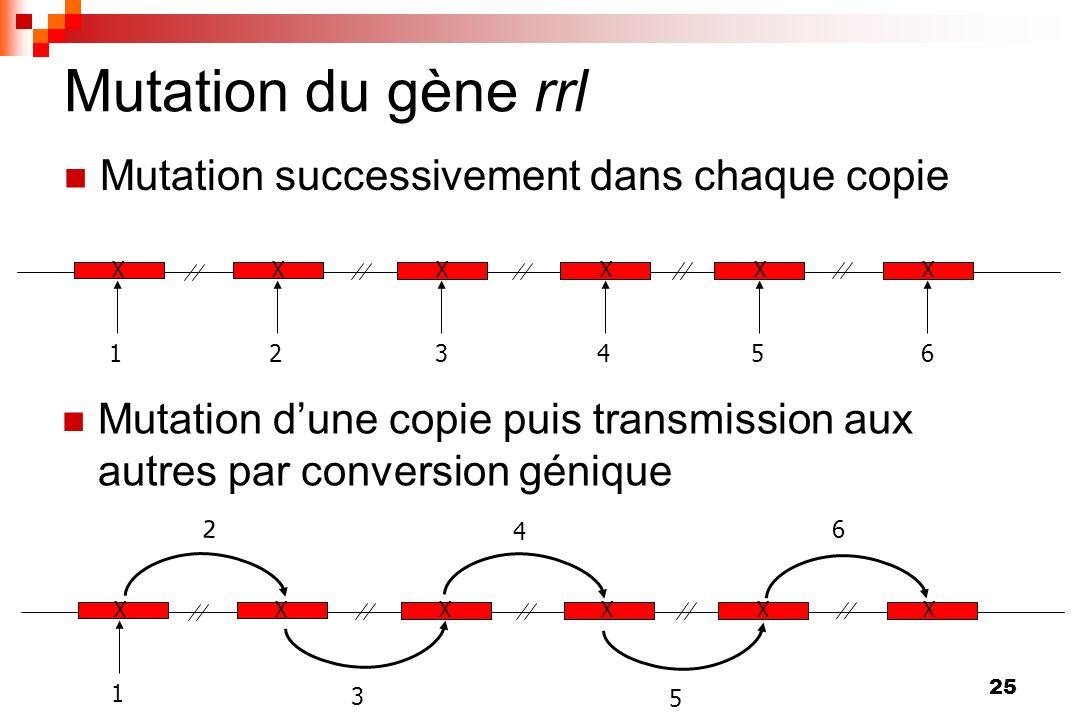 Mutation du gène rrl Mutation successivement dans chaque copie