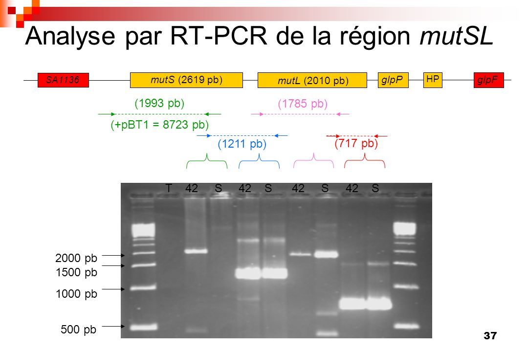 Analyse par RT-PCR de la région mutSL