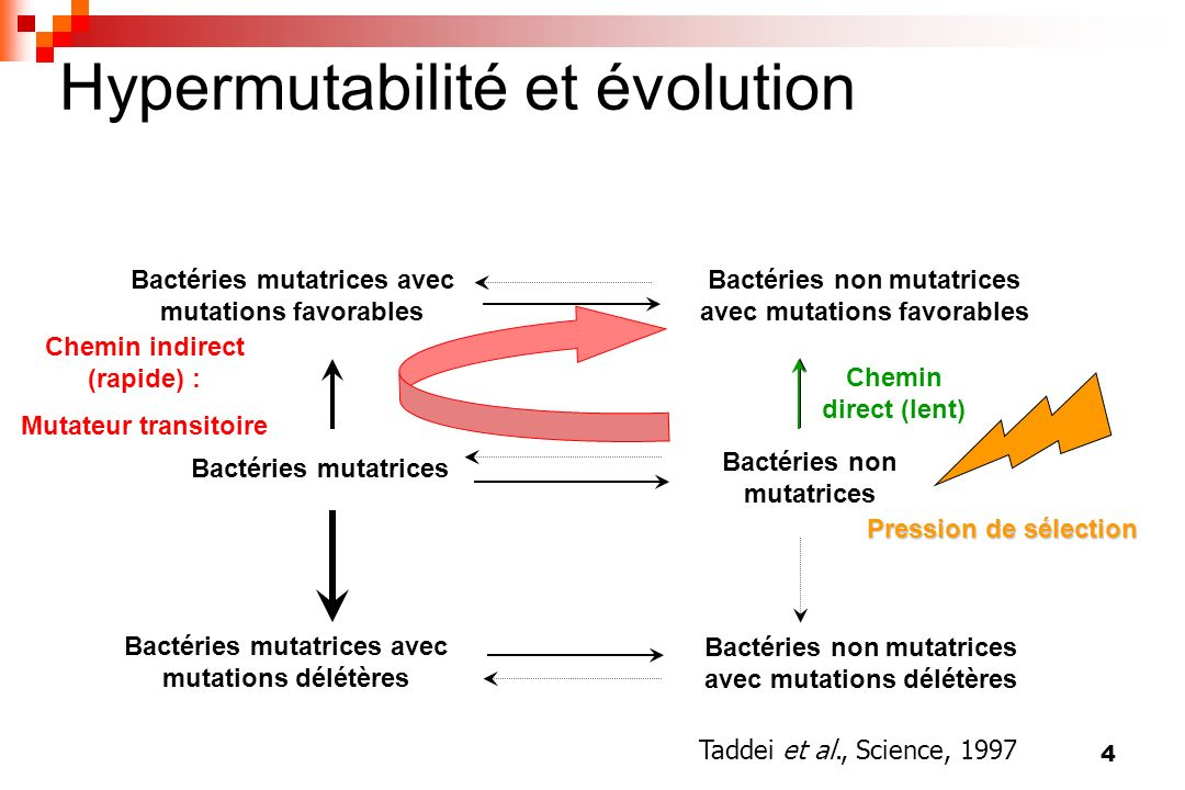 Hypermutabilité et évolution