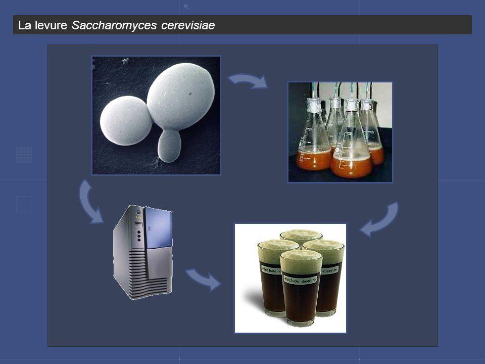 La levure Saccharomyces cerevisiae
