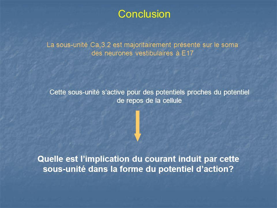 Conclusion La sous-unité Cav3.2 est majoritairement présente sur le soma des neurones vestibulaires à E17.