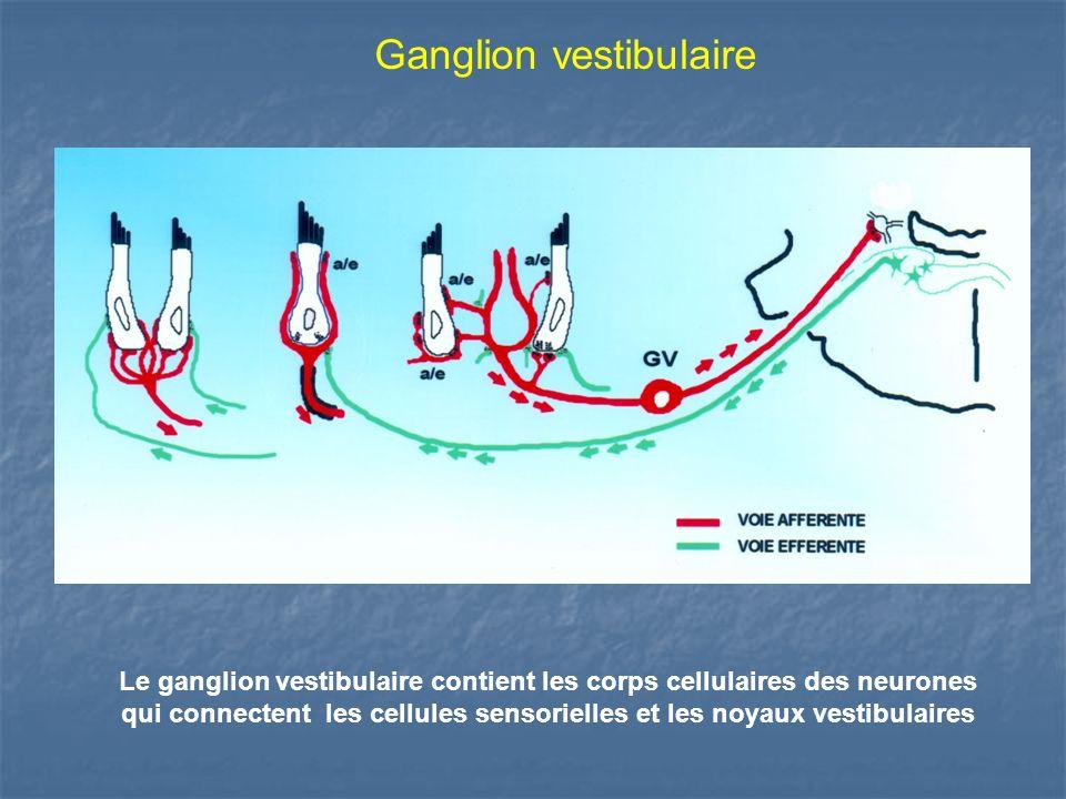 Ganglion vestibulaire