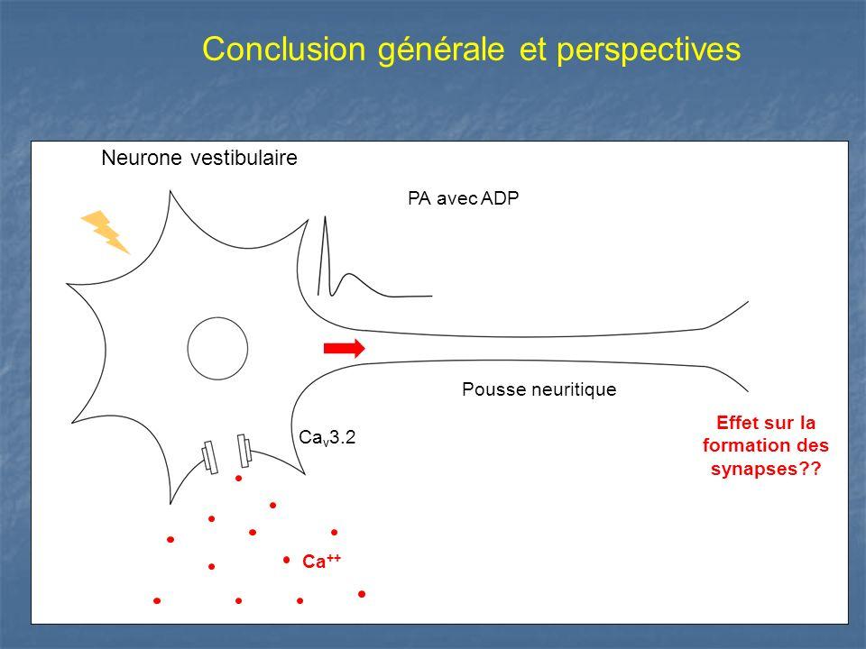 Effet sur la formation des synapses