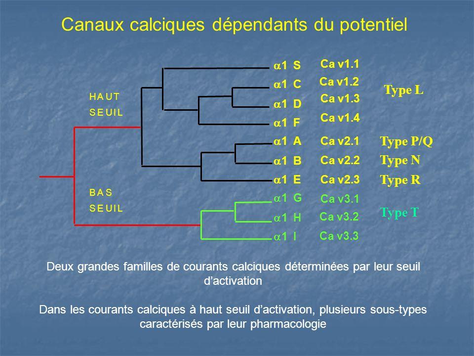 Canaux calciques dépendants du potentiel