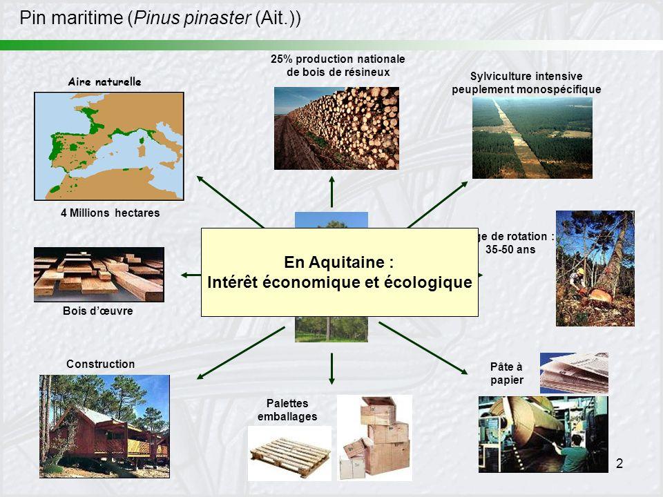 Pin maritime (Pinus pinaster (Ait.))