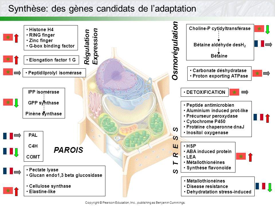 Choline-P cytidyltransférase
