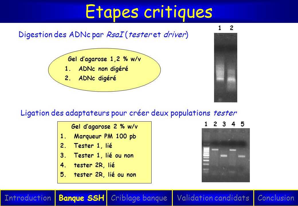 SSH Etapes critiques Digestion des ADNc par RsaI (tester et driver)
