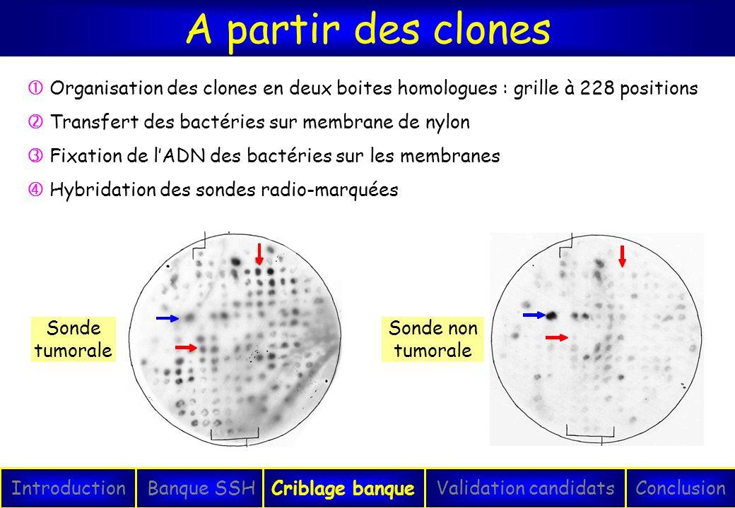 A partir des clones  Organisation des clones en deux boites homologues : grille à 228 positions.  Transfert des bactéries sur membrane de nylon.