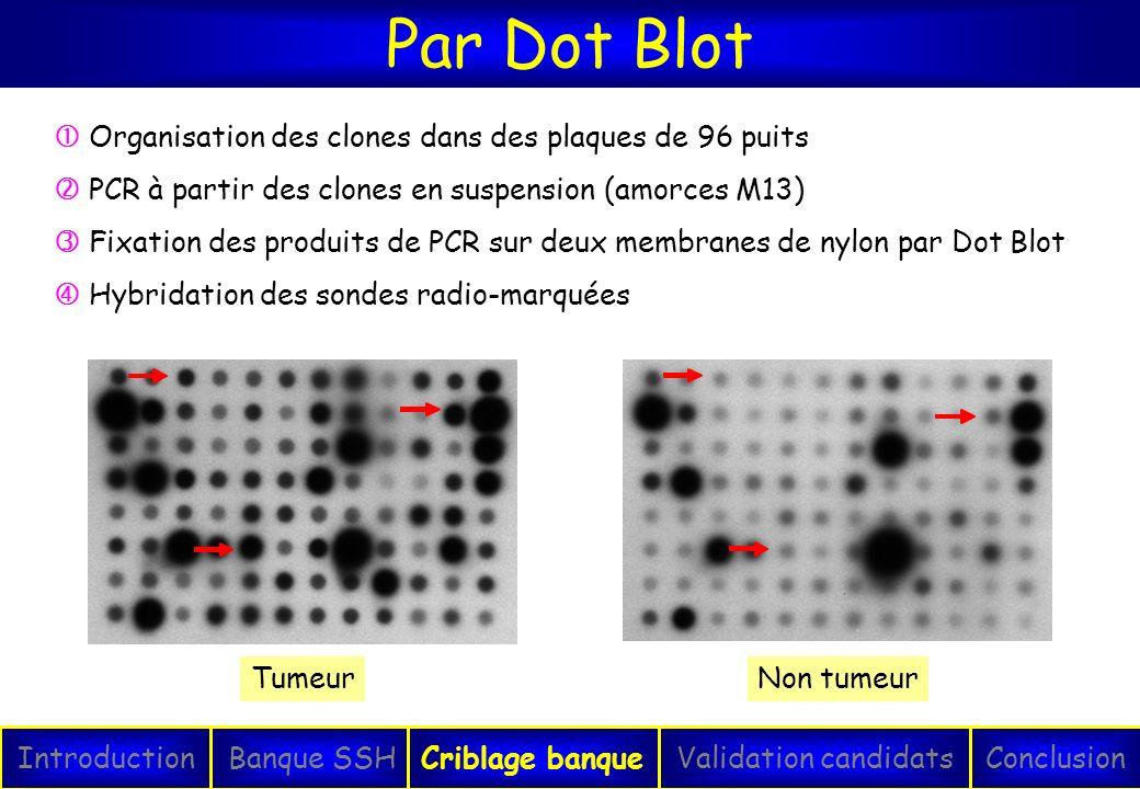 Par Dot Blot  Organisation des clones dans des plaques de 96 puits