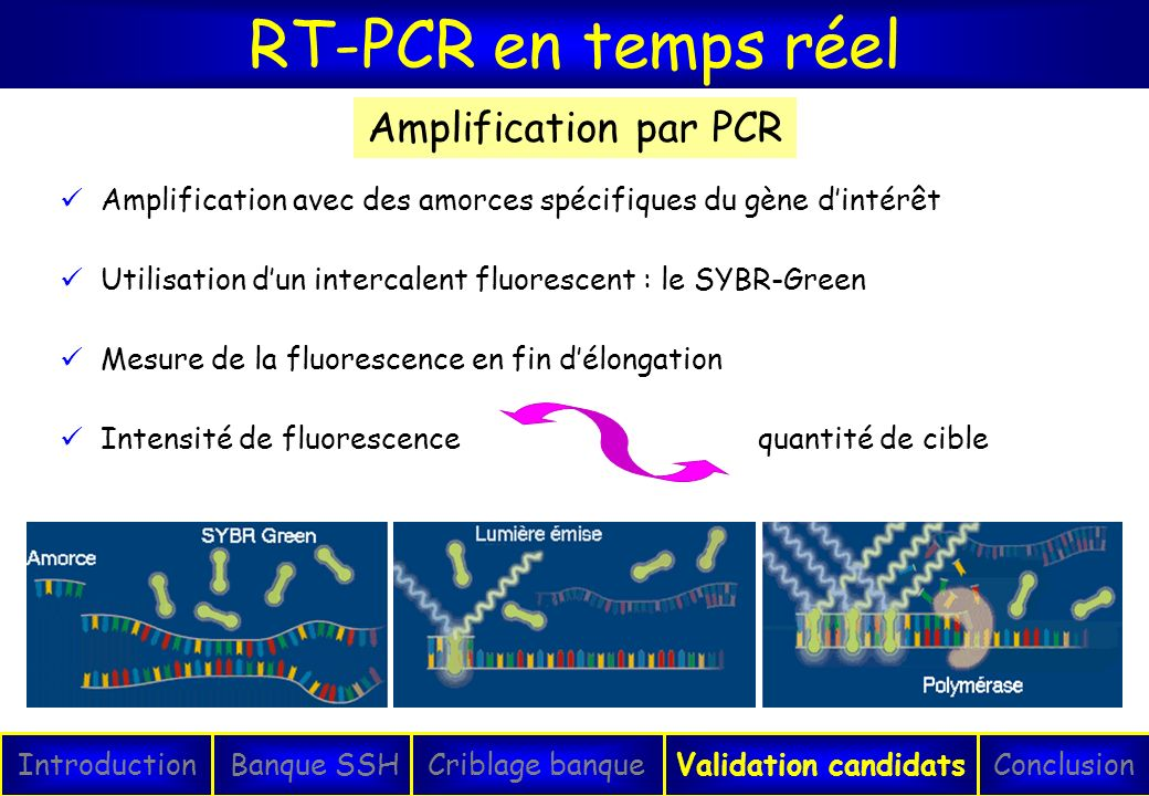 RT-PCR en temps réel Amplification par PCR