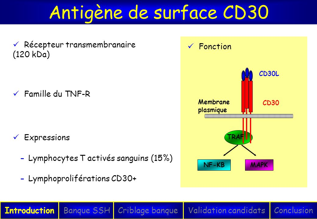 Antigène de surface CD30 Récepteur transmembranaire (120 kDa) Fonction