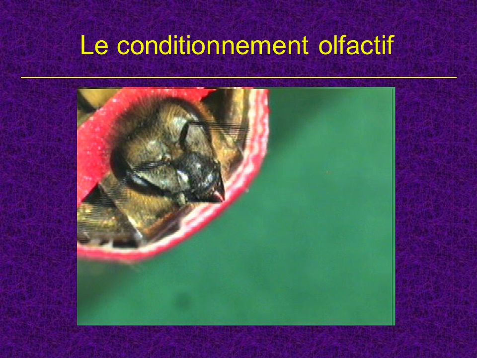 Le conditionnement olfactif