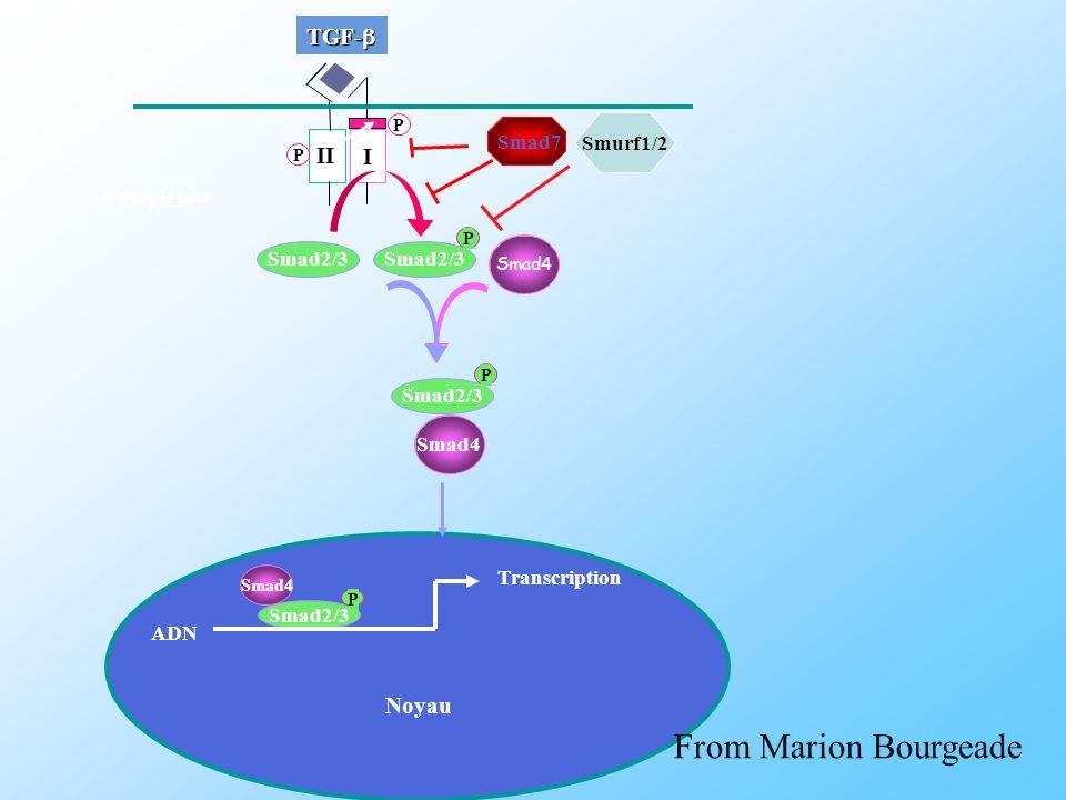 From Marion Bourgeade TGF-b I II Noyau Smad7 Smurf1/2 Cytoplasme