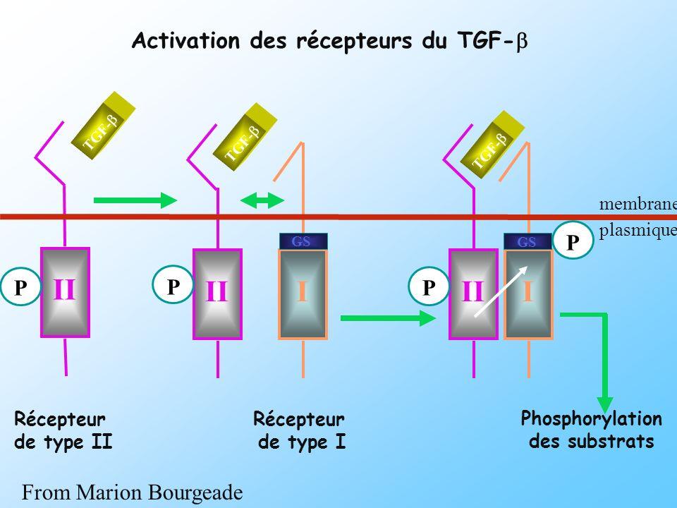 II II I II I Activation des récepteurs du TGF-b P P P P