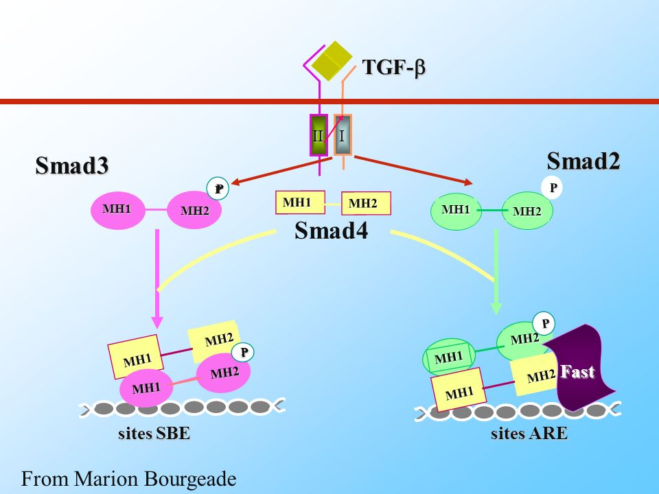 Smad2 Smad3 Smad4 TGF-b From Marion Bourgeade Fast sites SBE sites ARE