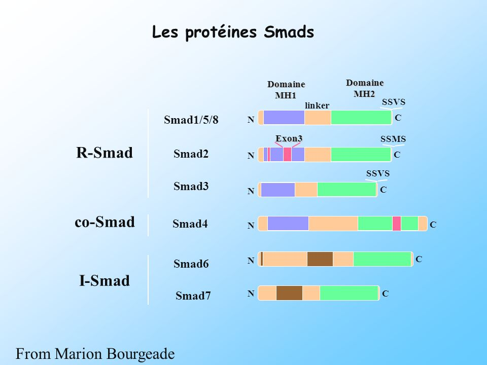 Les protéines Smads R-Smad co-Smad I-Smad From Marion Bourgeade